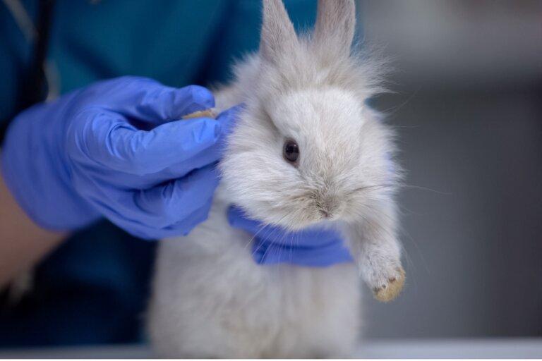 A mi conejo le fallan las patas de atrás: ¿a qué se debe?