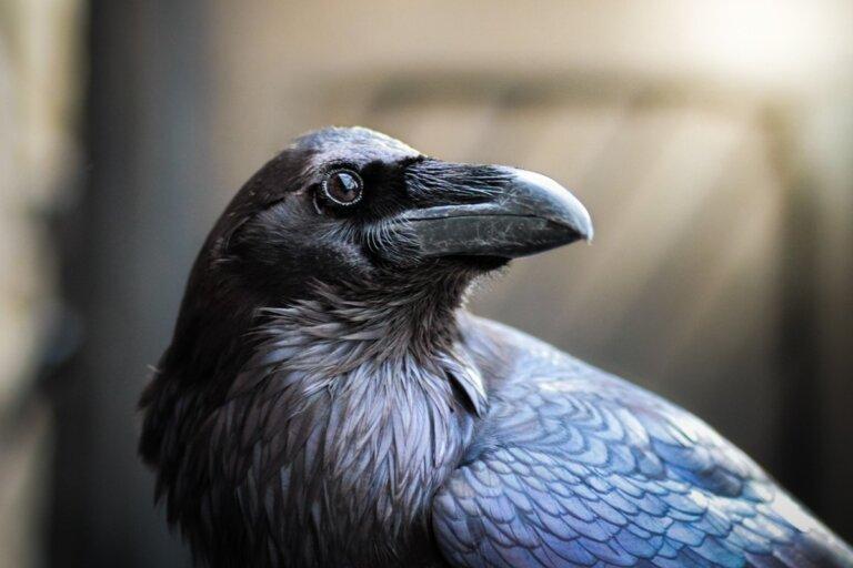 Cuervo común: hábitat y características