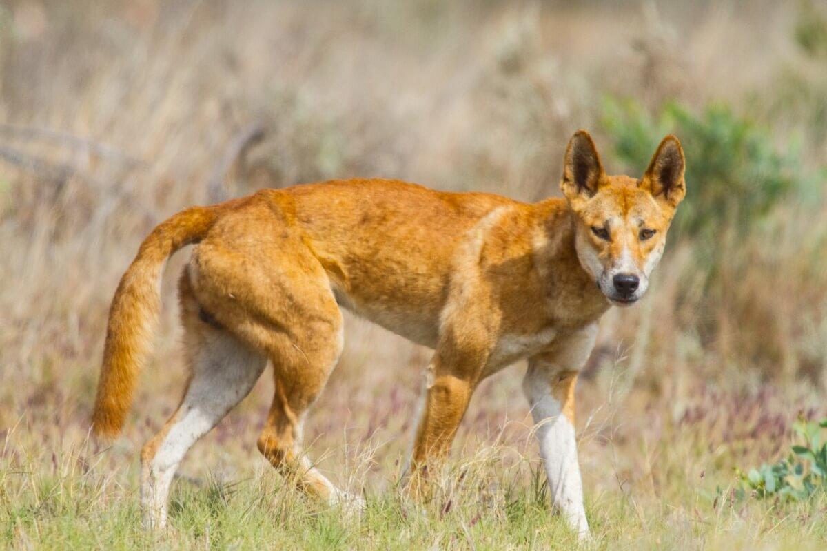 Un dingo dans le désert