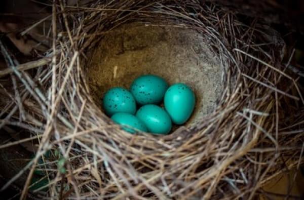 ¿Sabes por qué los huevos del pájaro Robín son azules?