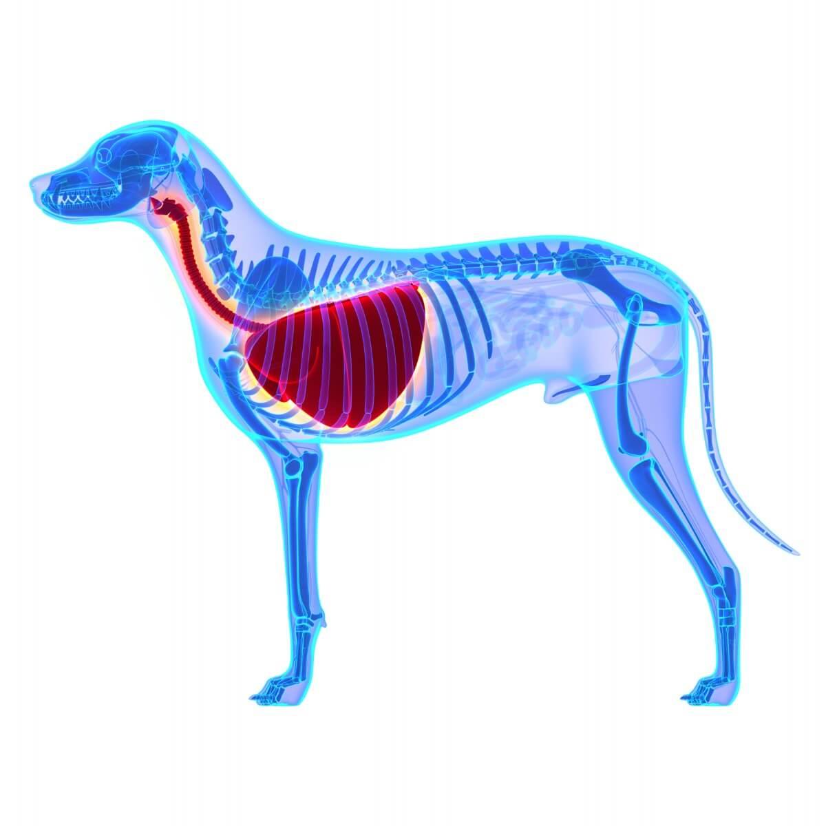 Un dibujo de la zona traqueal en perros.
