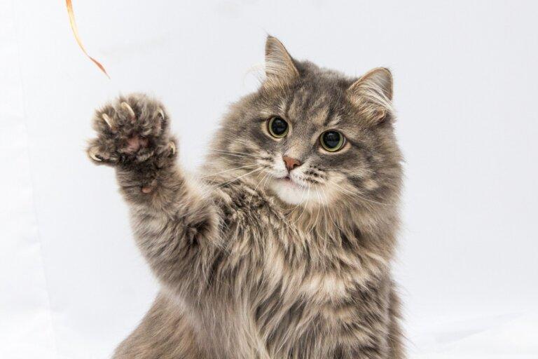Pododermatitis en gatos: síntomas, causas y tratamiento