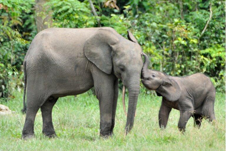 ¿Cuánto dura el embarazo de un elefante?