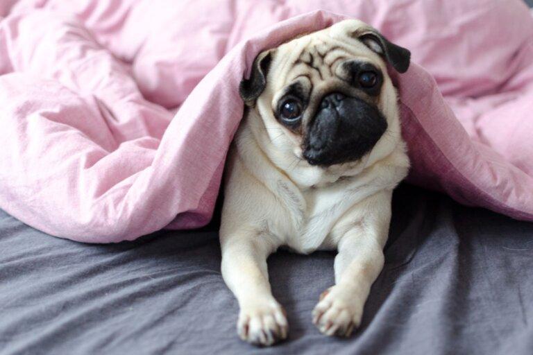 Enfermedades digestivas en perros braquicéfalos