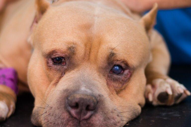 Entropión en perros: causas, síntomas y tratamiento