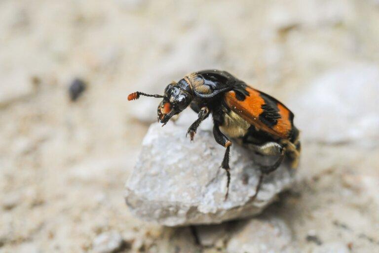 El método de los escarabajos para proteger su comida