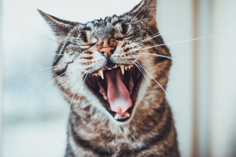 ¿Cuándo salen los dientes de los gatos?