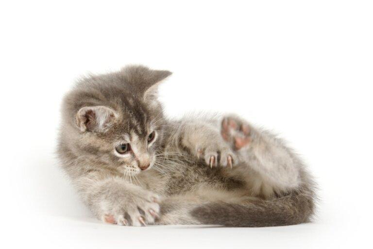¿Por qué los gatos se huelen el ano?