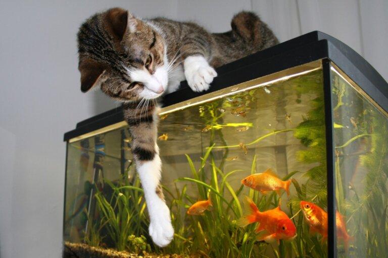 ¿Pueden los gatos convivir con peces?