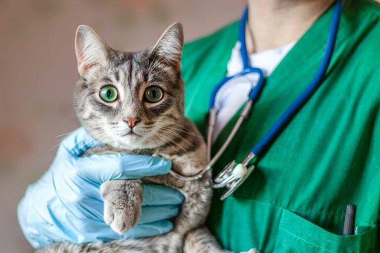 Prolapso rectal en gatos: causas, síntomas y tratamientos