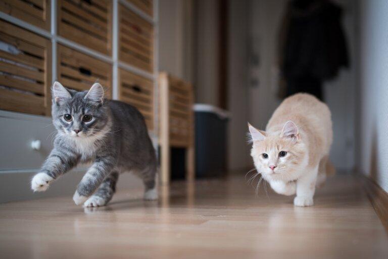 ¿Cómo hacer que un gato acepte a otro?