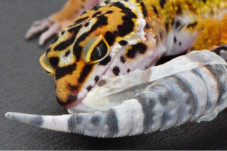 Problemas de muda en reptiles (disecdisis)