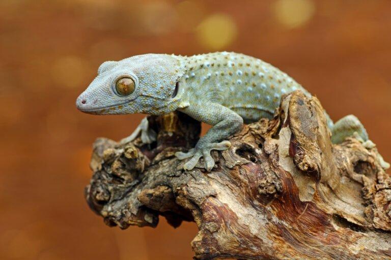 10 tipos de geckos