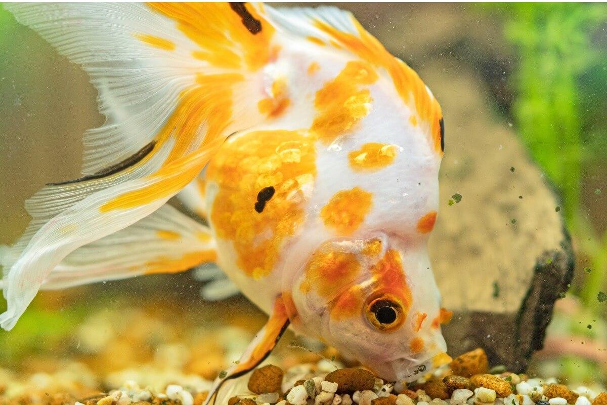 Un goldfish comiendo piedras.