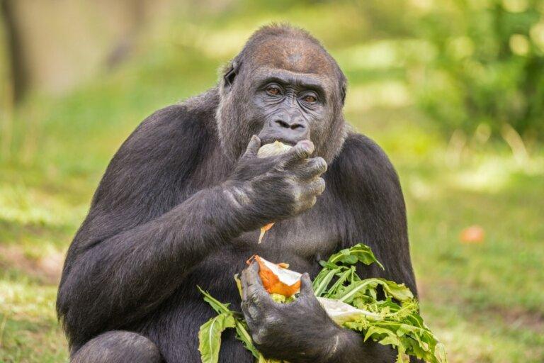 Alimentación de los gorilas