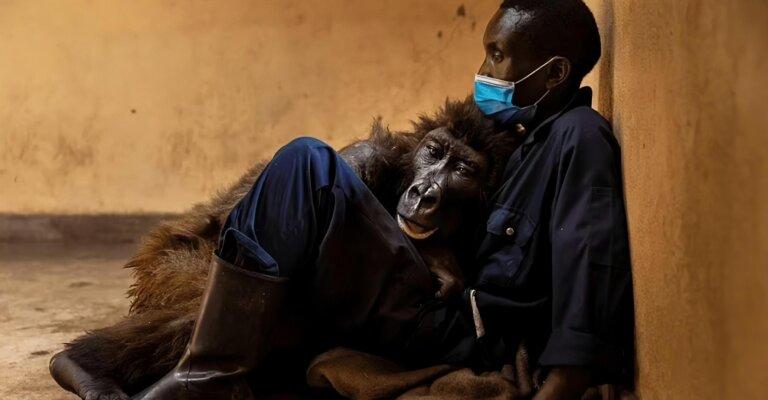 """""""Fue un privilegio cuidarla"""": falleció gorila en brazos del cuidador que la rescató"""