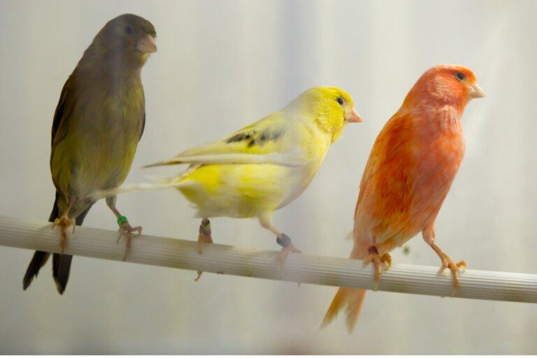 ¿Cuánto vive un canario?