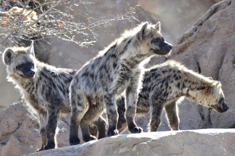 ¿Cómo cazan las hienas?