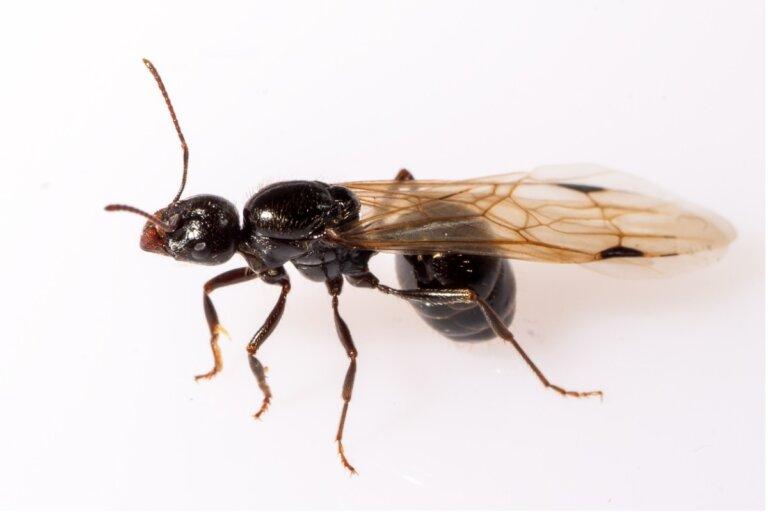 ¿Por qué hay hormigas con alas?