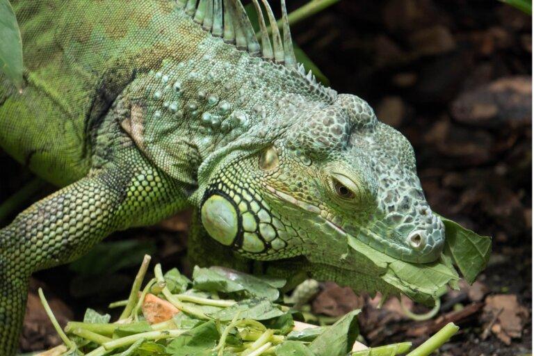 Mi iguana no come: ¿por qué?
