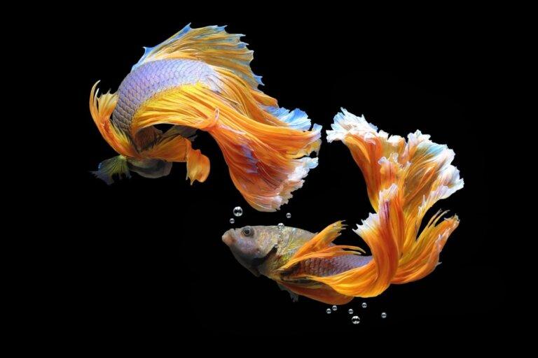 14 peces incompatibles en el acuario