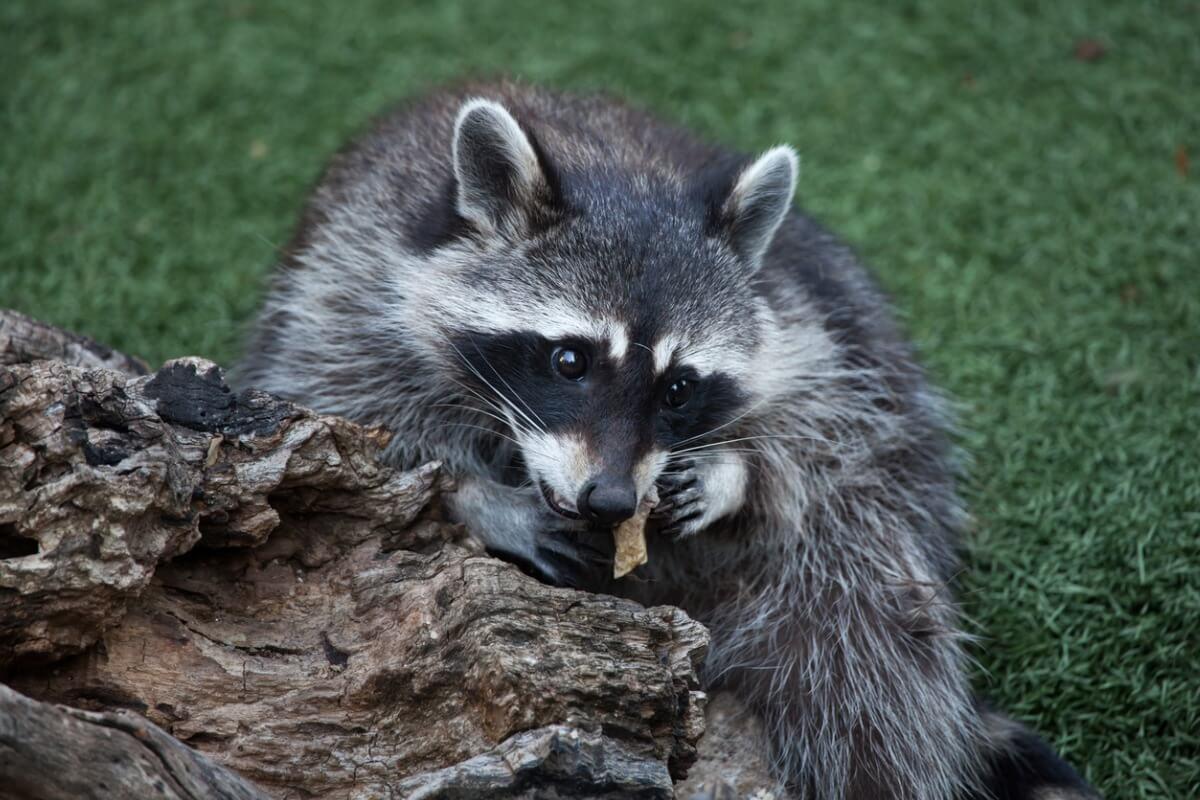 Un mapache que está comiendo.