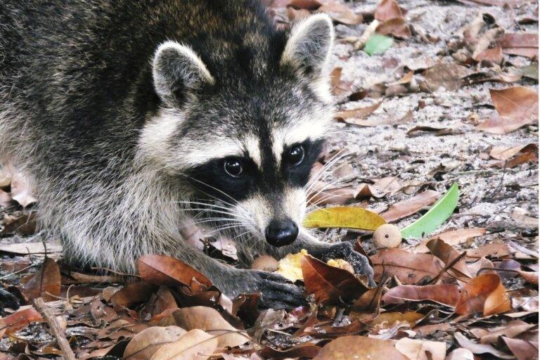 Alimentación del mapache