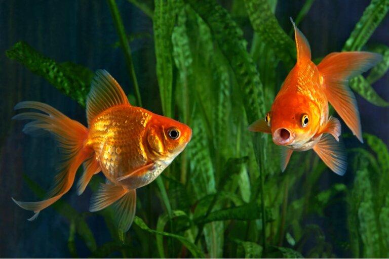 ¿Por qué mi goldfish es agresivo?