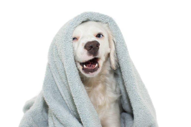 ¿Cómo limpiar a tu perro sin bañarlo?