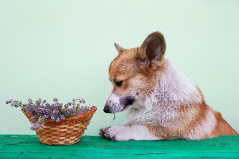 ¿El romero es bueno para perros?
