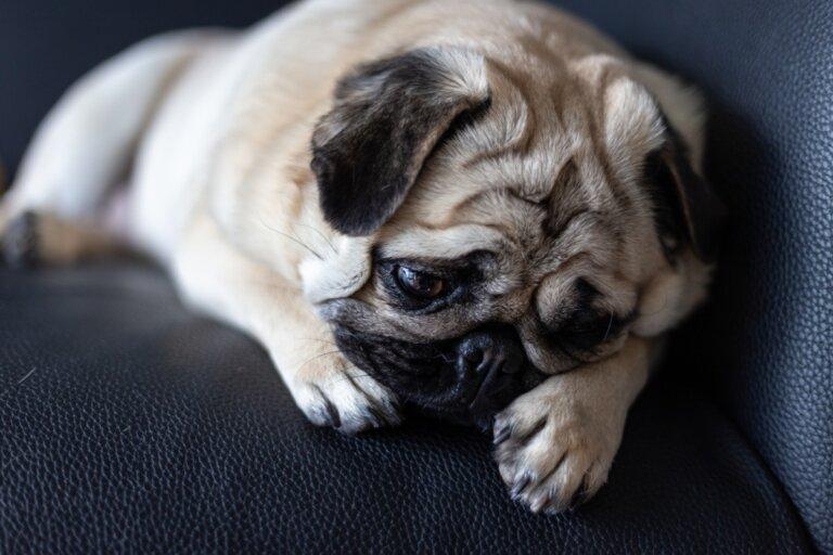 ¿Qué hago si mi perra en celo no para de llorar?