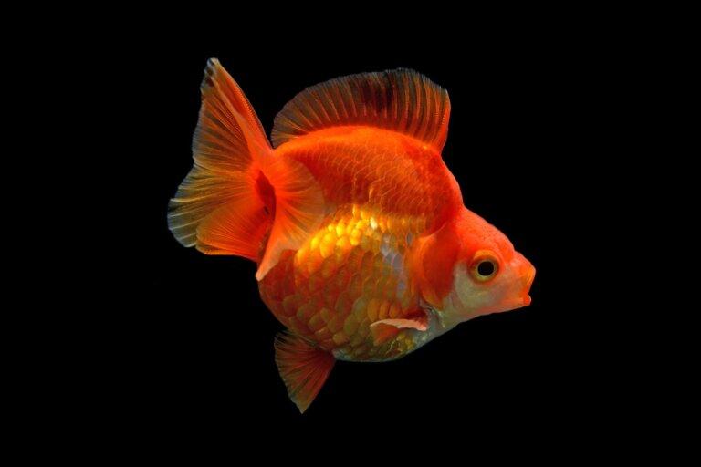 Características de los peces japoneses