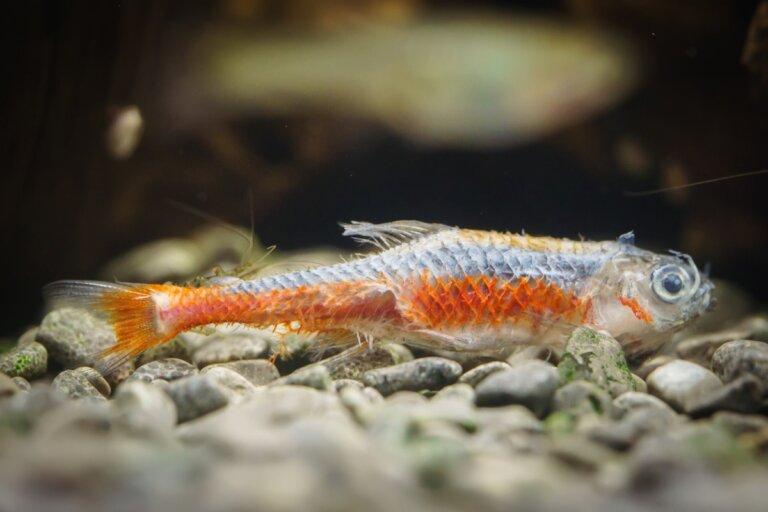 Mi pez tiene una capa blanca en el cuerpo: ¿qué es?