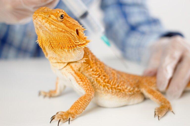 Prolapso cloacal en reptiles: síntomas y tratamiento