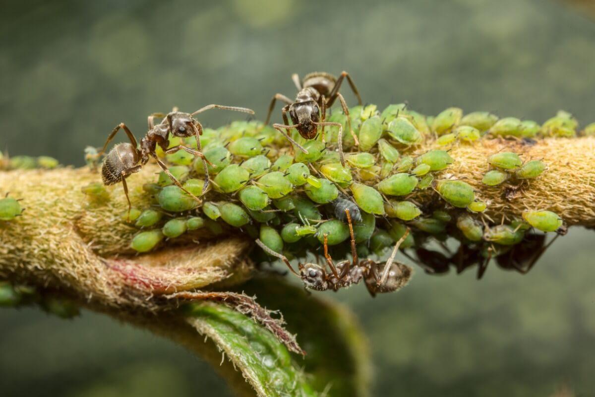 Los pulgones y las hormigas son un claro ejemplo de mutualismo en biología.