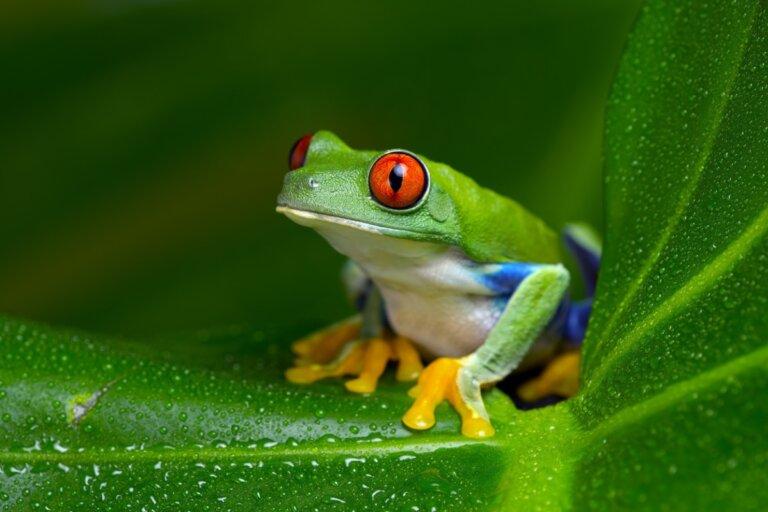 Rana verde de ojos rojos: hábitat y características