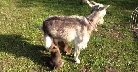 Sorprendente: cabra alimenta con su leche a una camada de perros