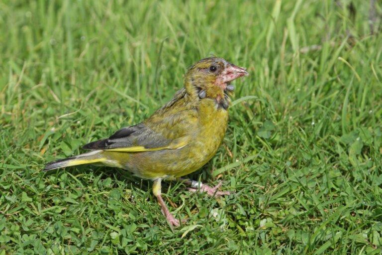 Salmonelosis en aves: causas, síntomas y tratamiento