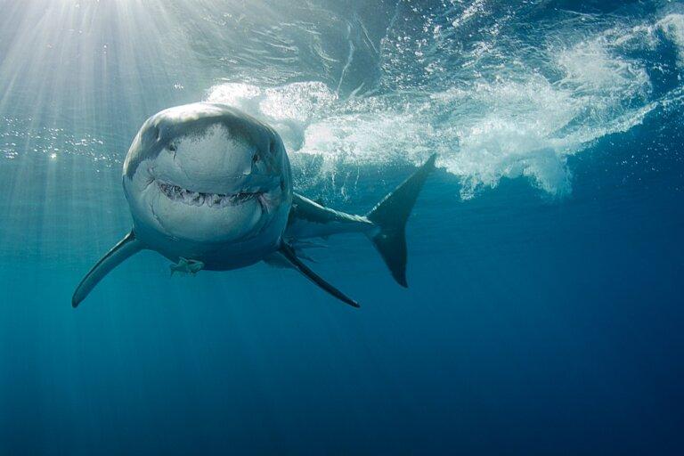 ¿Cómo cazan los tiburones?