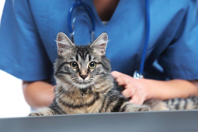 Nocardiosis en gatos: síntomas y tratamiento