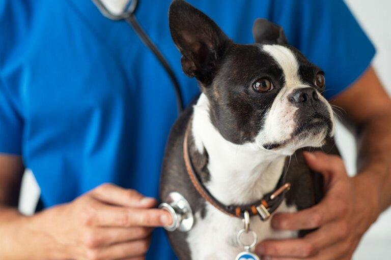 Hiperplasia benigna de próstata en perros